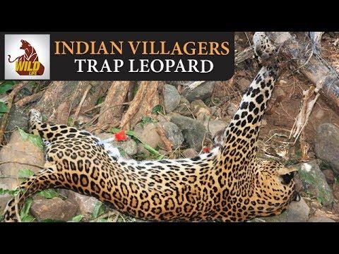 Wild Animal Videos | Indian Villagers Trap Leopard in Bijnour | Danger Animals | Wildlife