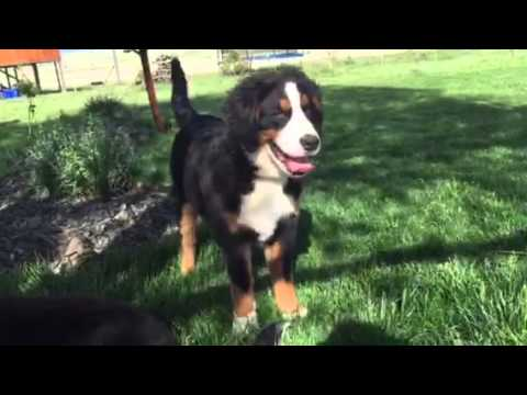 Bernese mountain dogs River and Willow of the Rockies