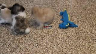 Shichon Puppies For Sale Jake Stoltzfus