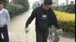 Training Schnauzers