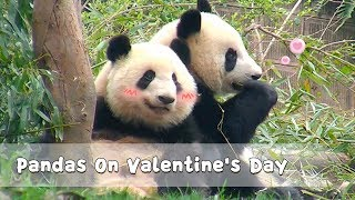 Pandas On Valentine's Day | iPanda