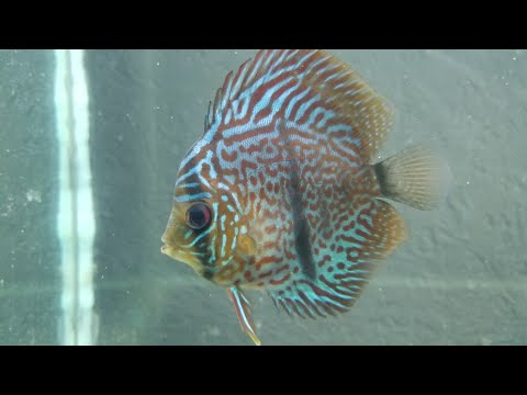 Discus - How To Nurse Them Back To Health