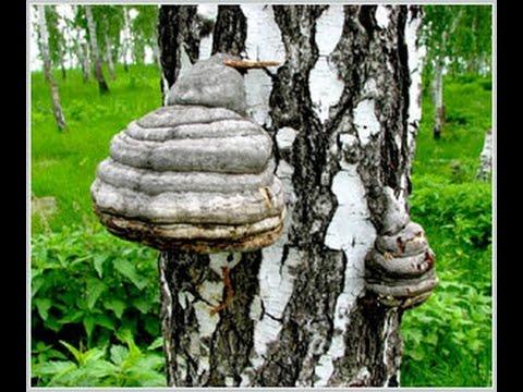 Чага (берёзовый гриб) – полезные свойства и применение