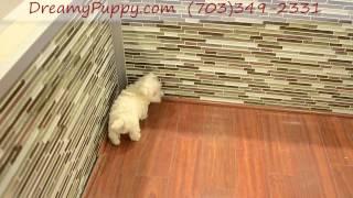 Dreamy Puppy Westie Boy!