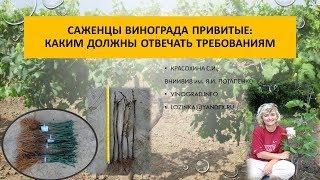 Саженцы винограда привитые, Красохина СИ, апрель 2017