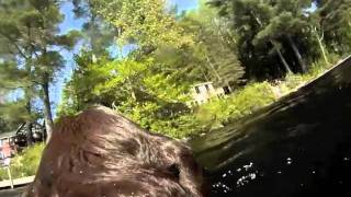 Lab swimming with a GoPro camera