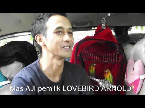 Burung Lovebirds ARNOLD Konslet Jadi JUARA Di PIALA SOEHARTO 2017 Borobudur Magelang