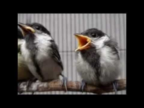 Ciri Fisik Perbedaan Burung Gelatik Wingko Jantan Dan Betina Youtube