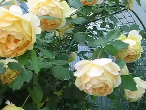 Цветение английской розы  Golden Celebration на арке