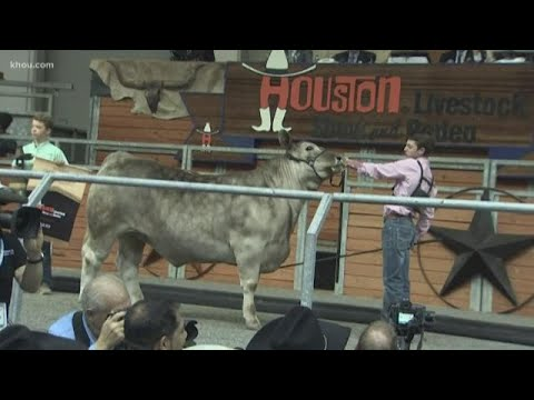 Kids From Around Texas Show Prized Animals At Houston Livestock Show And Rodeo