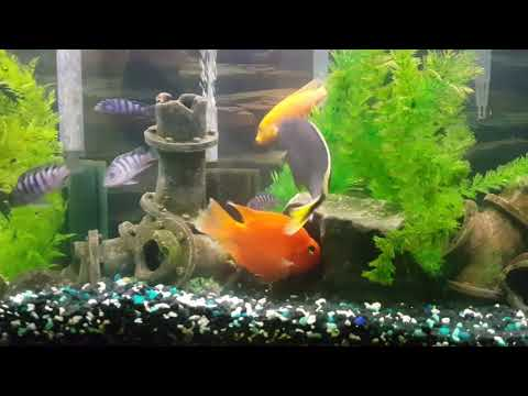 African Cichlids exhibiting aggression