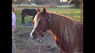 Adolwyn Carnil Section C cob mare for sale