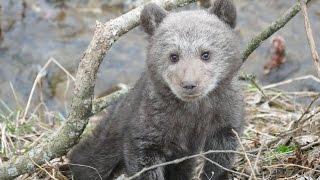 Leśnicy z Cisnej uratowali niedźwiadka