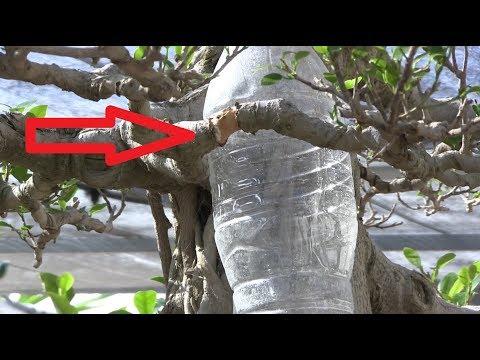 Cambiar una rama de ubicación - Ficus grande