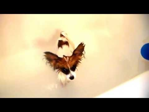Percy the Papillon Dog: Bath Time!