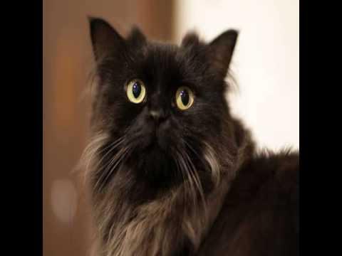 laperm cat rescue