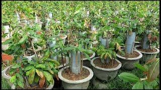 Kỹ thuật tạo cây mai bonsai vũ nữ chân dài từ mai con độc đáo.