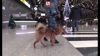 """""""Аэрофлот"""" зарегистрировал группу своих служебных собак породы """"шалайка"""""""