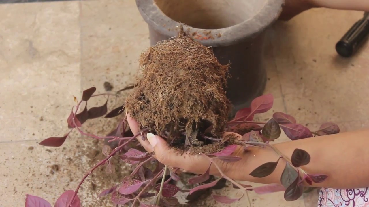 How to Remove Plants From Their Pots Without Damaging Them(Urdu)