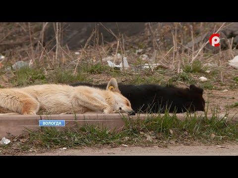 Куда пропадают собаки после отлова с улиц городов Вологодчины?