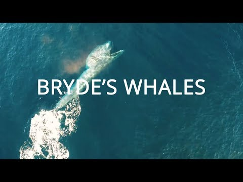 Bryde's Whales Rare Footage by Splash Drone