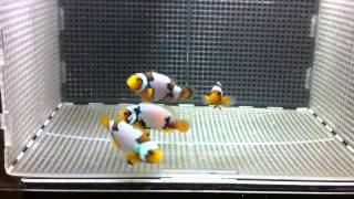 White Knight Clownfish For Sale