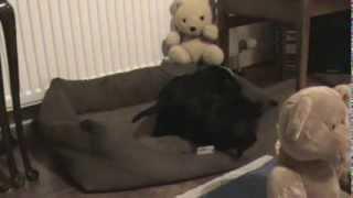 Cocker Spaniel Puppies Playing