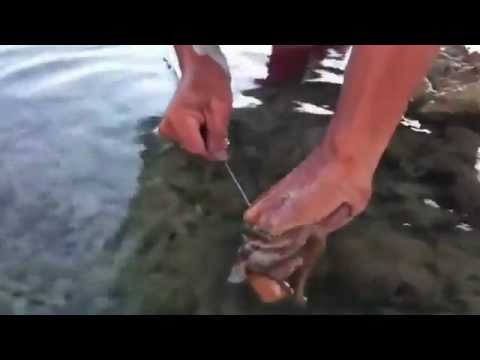 Thumbnail: How to catch octopus from shallow water