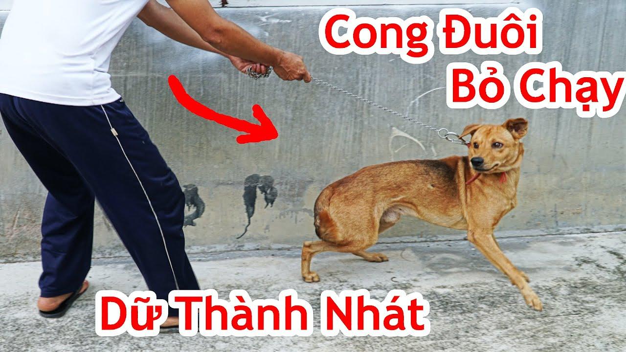 Cách Làm Con Chó Sợ Không Sủa Khi Vào Nhà Người Quen / Mẹo Làm Chó Dữ Không Dám Sủa Cắn.good tip dog