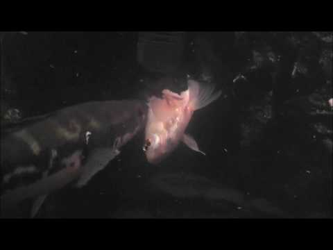 SnakeHead VS Red-Fish