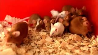 Декоративные мыши, окрас красный и красный пятнистый