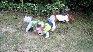 寒くても元気に遊んでる3ワン しんちゃんも珍しく走ってますよ・・・