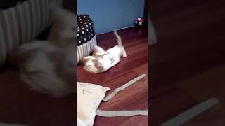 Котята метис Мейн-кун и Ангорской кошки.