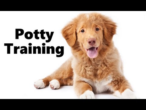 How To Potty Train A Nova Scotia Duck Tolling Retriever Puppy - Nova Scotia Duck Tolling Puppies