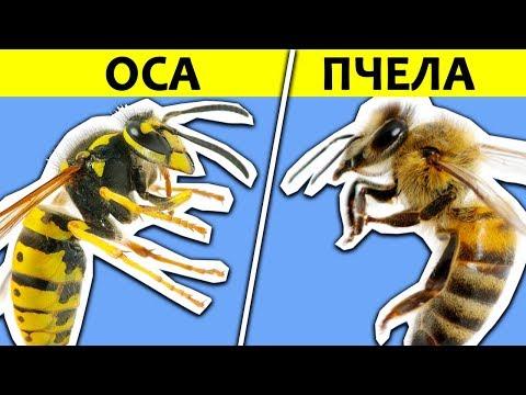 Как выглядит шмель и пчела