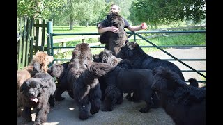 LIFE WITH 8 NEWFOUNDLAND DOGS // Daily walk & swim with our pack of 9 Newfs //
