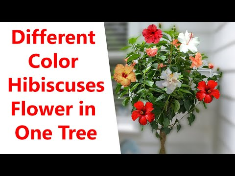 Hibiscus Tree Grafting | Different Color Hibiscuses Tree In One Tree