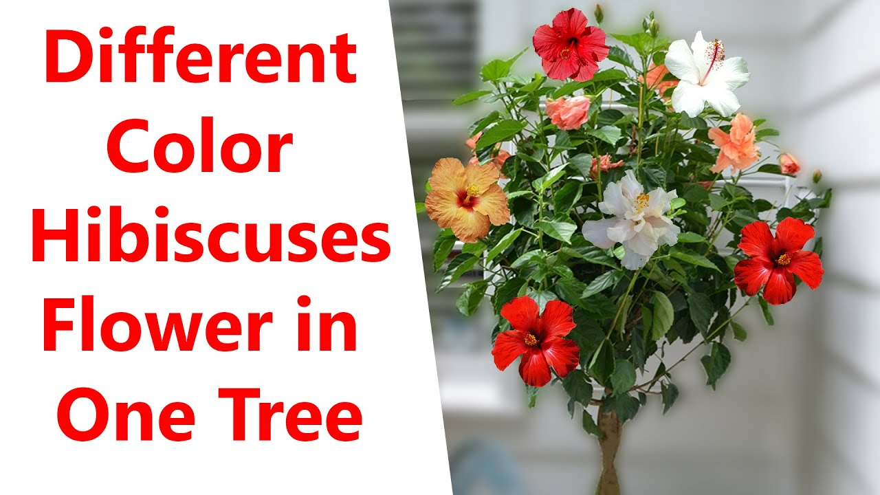 Hibiscus Tree Grafting Different Color Hibiscuses Tree