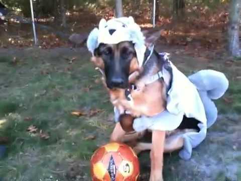 Jilly the German shepherd dressed like s squirrel for halloween - YouTube & Jilly the German shepherd dressed like s squirrel for halloween ...