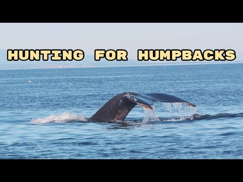 Hunting for Humpbacks (a whale almost SWALLOWED us!!)   Wildlife Watching