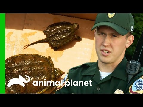 Rescuing Snapping Turtles, and Investigating Illegal Owl Taxidermy | North Woods Law