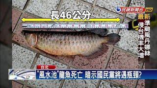 韓國瑜勝出  國黨「風水池」龍魚竟跳池亡-民視新聞