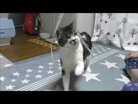 猫とふわふわのねこじゃらし☆リキちゃんに新しいおもちゃを買って来たよ!猫と遊ぶ☆猫パンチ炸裂【リキちゃんねる 猫動画】Cat video キジトラ猫との暮らし