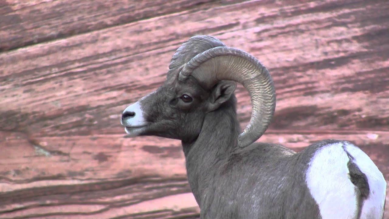 Wildlife - Zion National Park - Bighorn Sheep