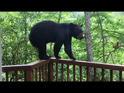 Momma Bear and Cub On Porch in Gatlinburg - BJBourg