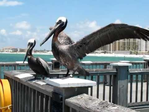 Pelican Clearwater Beach Florida