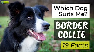 Is a Border Collie the Right Dog Breed for Me?  19 Facts About Border Collies!