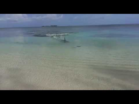 Ataque de tiburón martillo en la playa cable beach -Nassau- en Bahamas