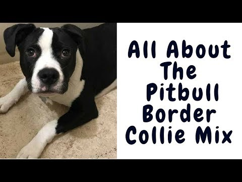 All About The Pitbull Border Collie Mix (Ultimate Guide)
