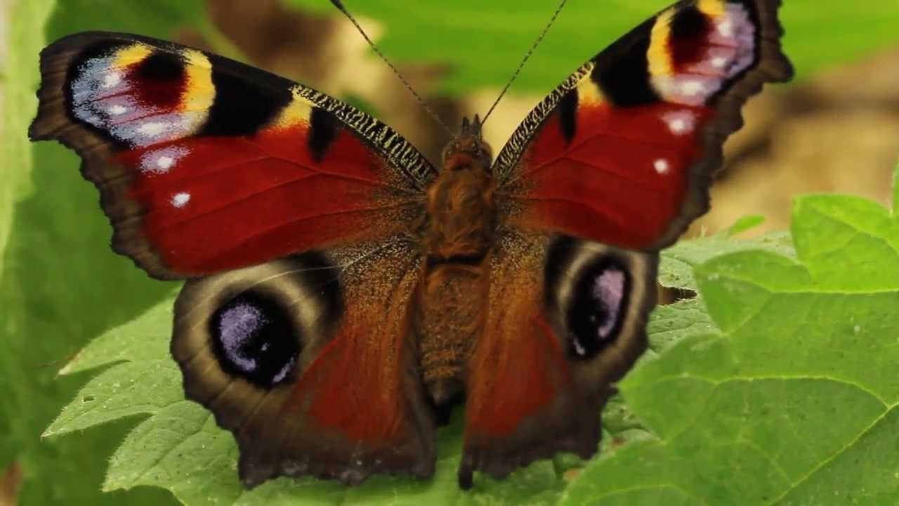 Pictures of peacock butterflies Celebrity News: Hollywood Entertainment Gossip Star